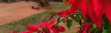 Julstjärna - Madagaskars blomma